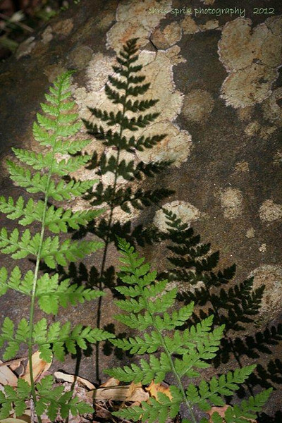 Fern Shadows - Great Smoky Mountains National Park - Chris Sprik - April 2012