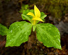 Yellow Trillium - Great Smoky Mountains National Park - Marty Farwell - April 2010