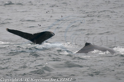 Bolide and calf
