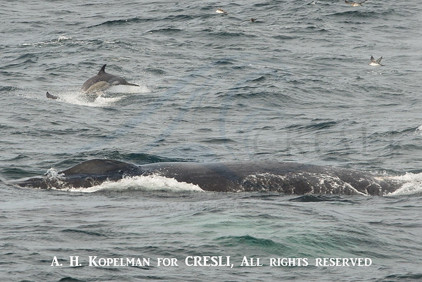 Humpback, Short-beaked Common Dolphins, and Great Shearwater - GSC, 8/11/15