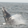 Breaching humpback with its eye-open