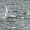 Flipper slapping humpback and short-beaked common dolphins GSC 8/11/15