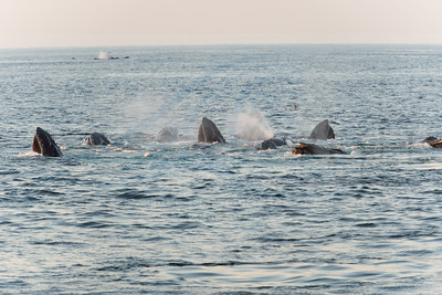 10 whale cooperative feeding group
