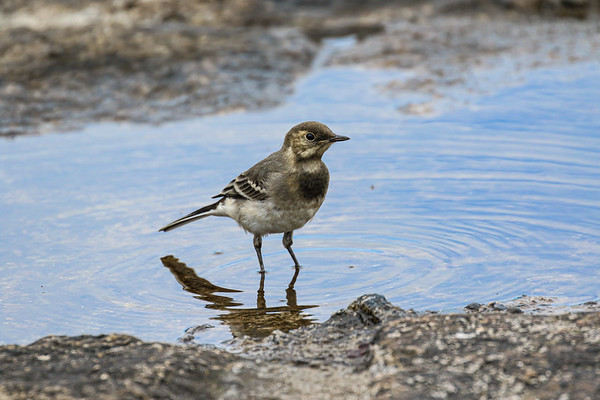 Pied Wagtail - Juvenile