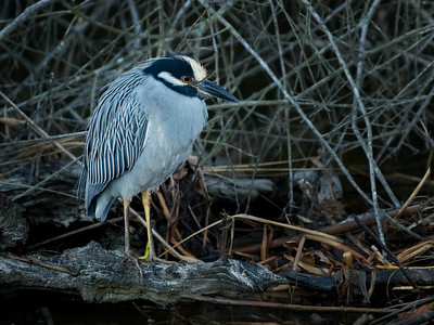 Yellow Crowned Night Heron, breeding adult