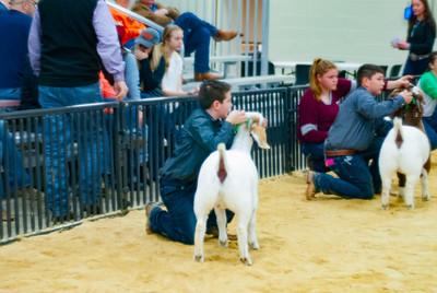 20190202_western_shootout_goats022