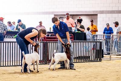 20180826_western_shootout_goats-14