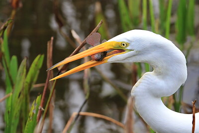 Great White Egret catches a fish