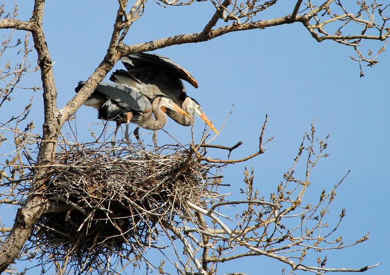 Great blue heron 31