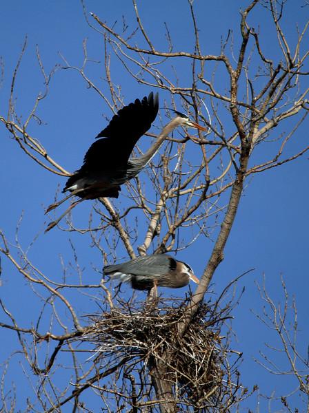 Great blue heron 30