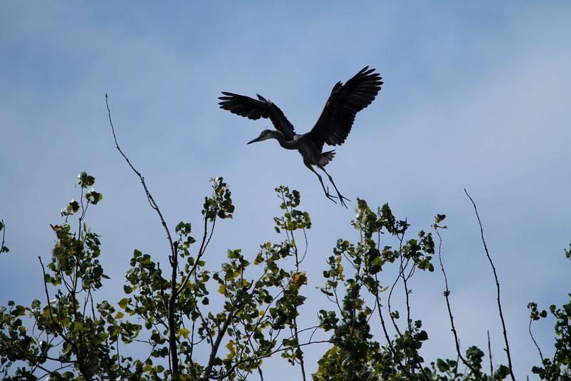 Great blue heron 17