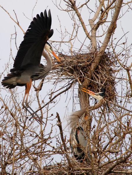 Great blue heron 36