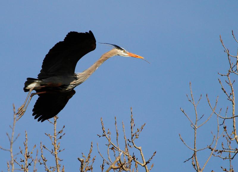 Great blue heron 32