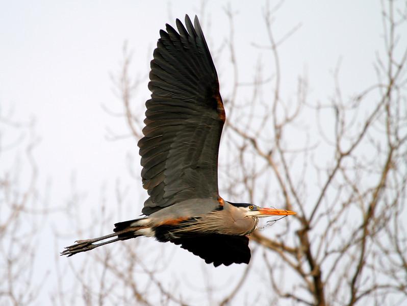 Great blue heron 37