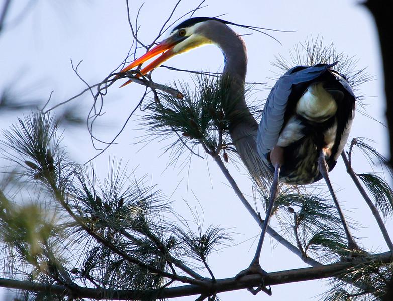 Great blue heron 18