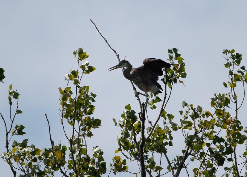 Great blue heron 14