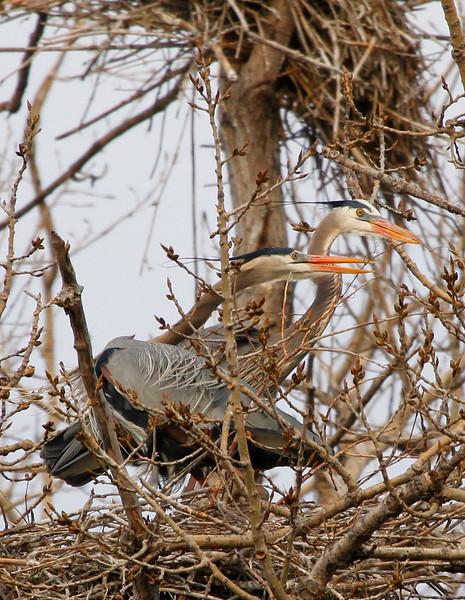 Great blue heron 35
