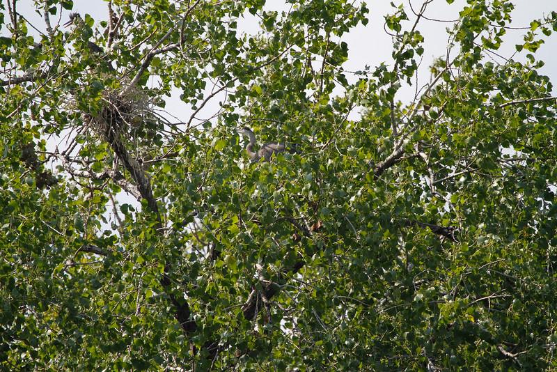 Great blue heron 26