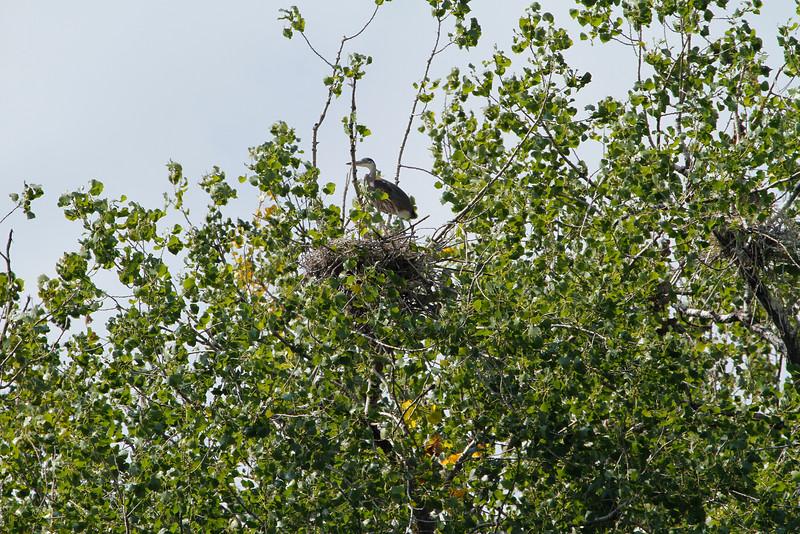 Great blue heron 23