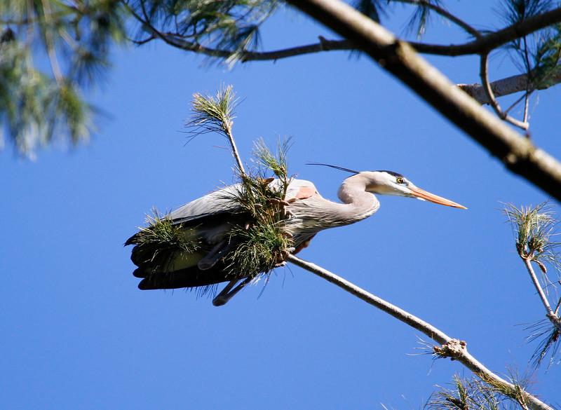 Great blue heron 24