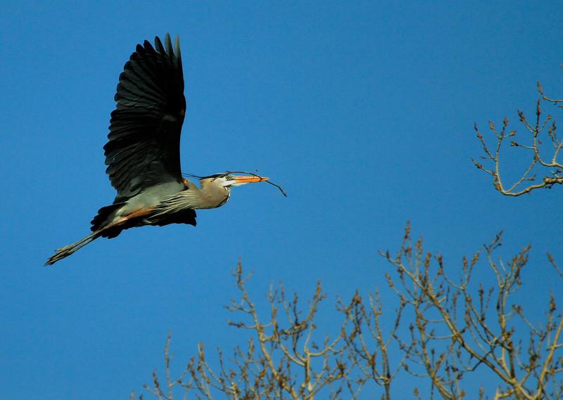 Great blue heron 29