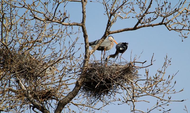 Great blue heron 10