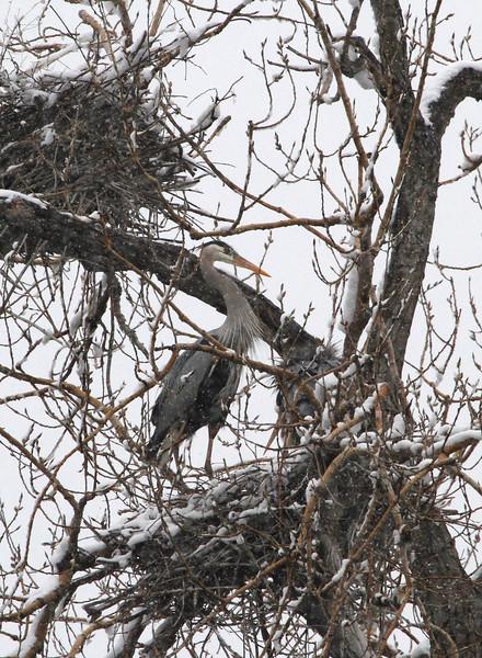 Herons in the snow 6