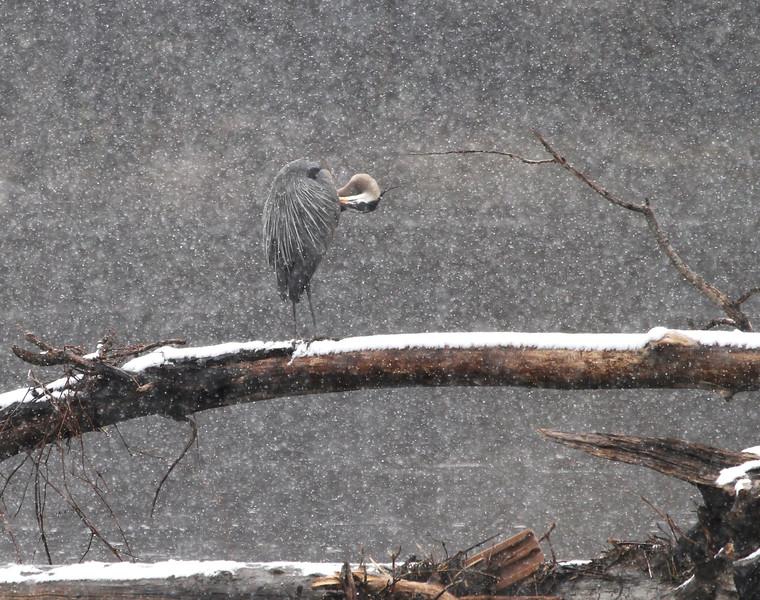 Herons in the snow 9