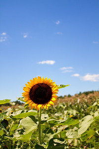 sunflower_130811_0005-1-ps