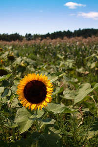 sunflower_130811_0001-1-ps