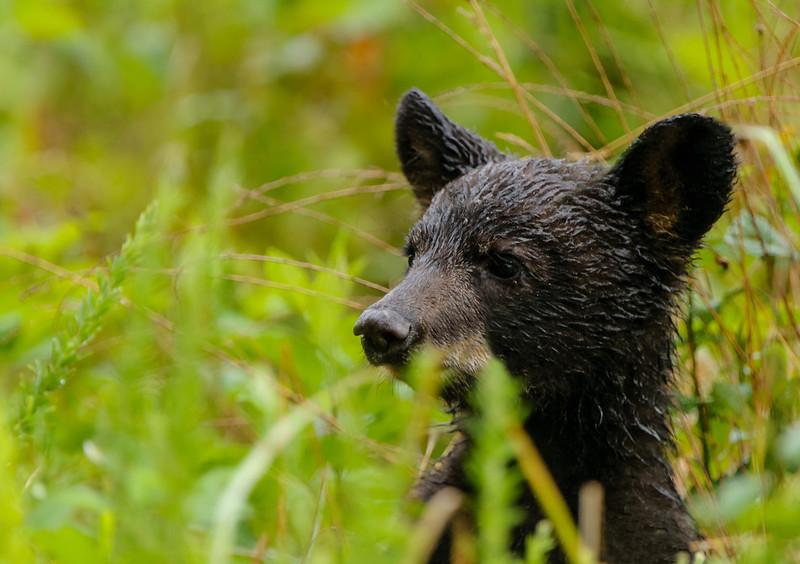 Bear Cub examines his world 0608