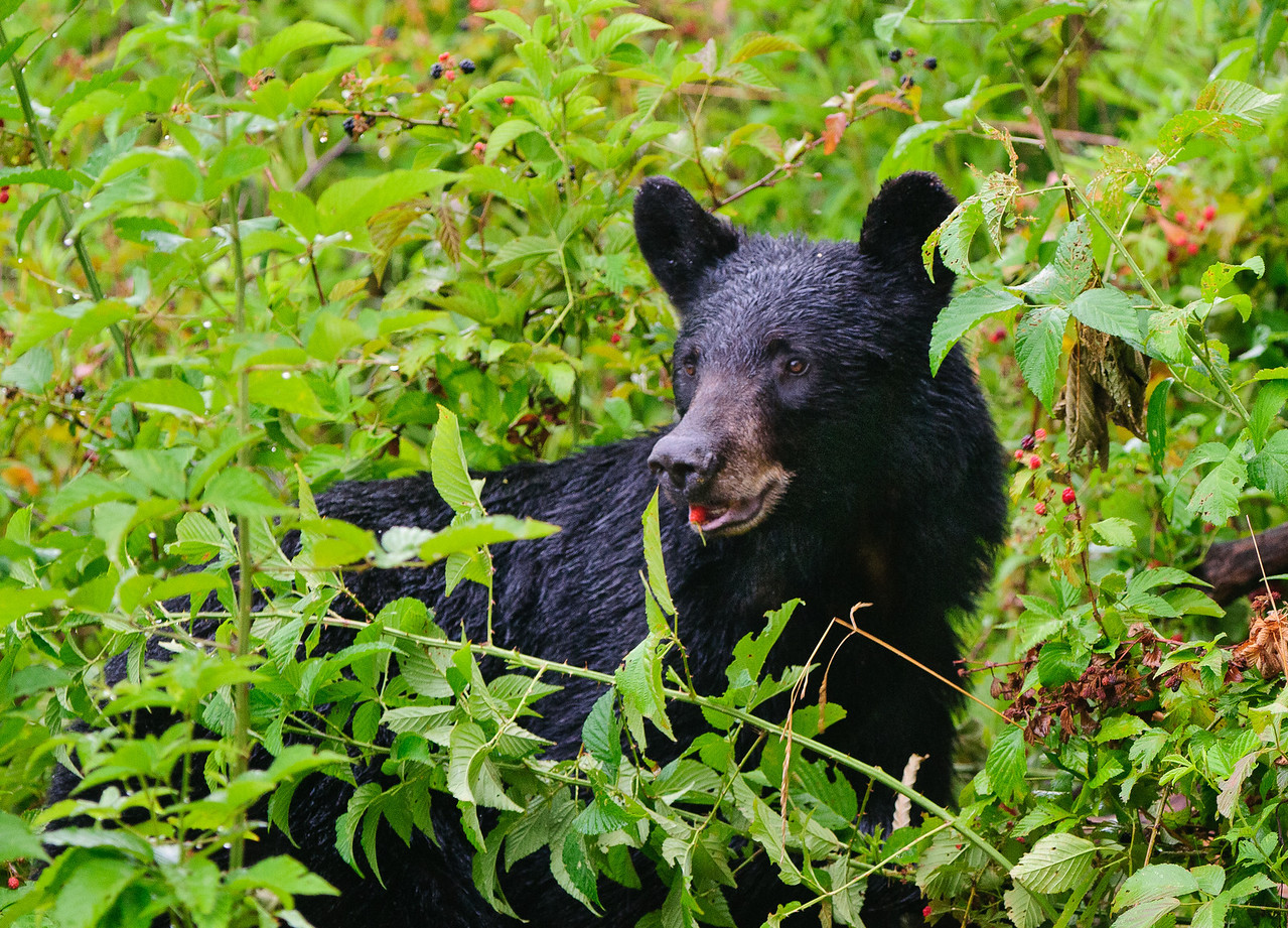 Feasting on blackberries.