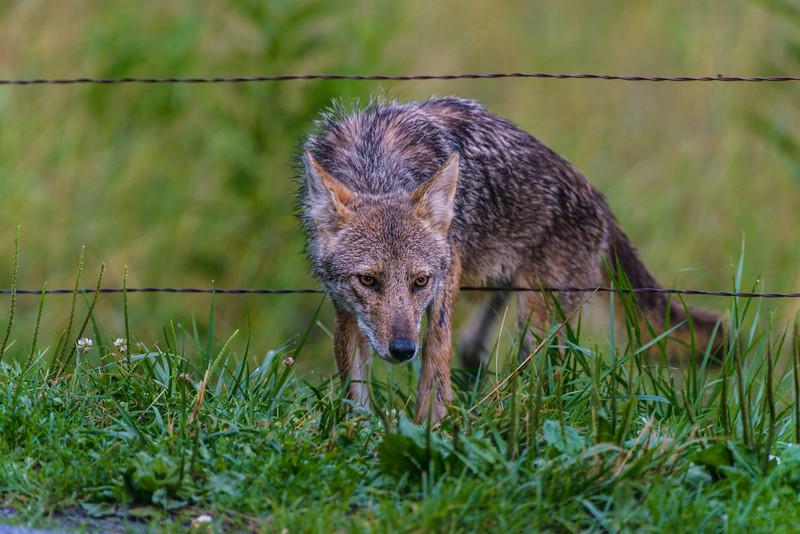 A coyote stalks his prey