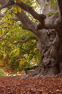 An old beech tree with a gnarled trunk sheds its leaves for winter.