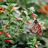 Monarch<br /> <br /> Color film