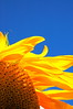 """Brilliant"" <br /> Sunflower against a clear, blue sky.  Bellevue, KY<br /> <br /> On the DVD for Capture Cincinnati 2009"