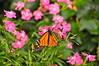 Krohn Conservatory Butterflies of Japan, 2010