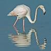 Greater Flamingo, immature. (Phoenicopterus ruber) .