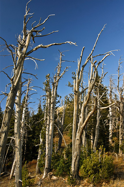 White Bark Pine Trees on Sawtell Peak, Island Park Idaho.  Grizzly Bears love the pine nuts from these trees.  A Fall staple for them.