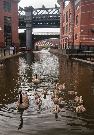 Goslings in the canal at Castlefield