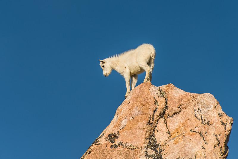 Beartooth-Absaroka Wilderness Mountain Goat
