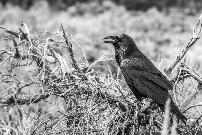 Raven #6