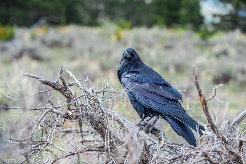 Raven #8