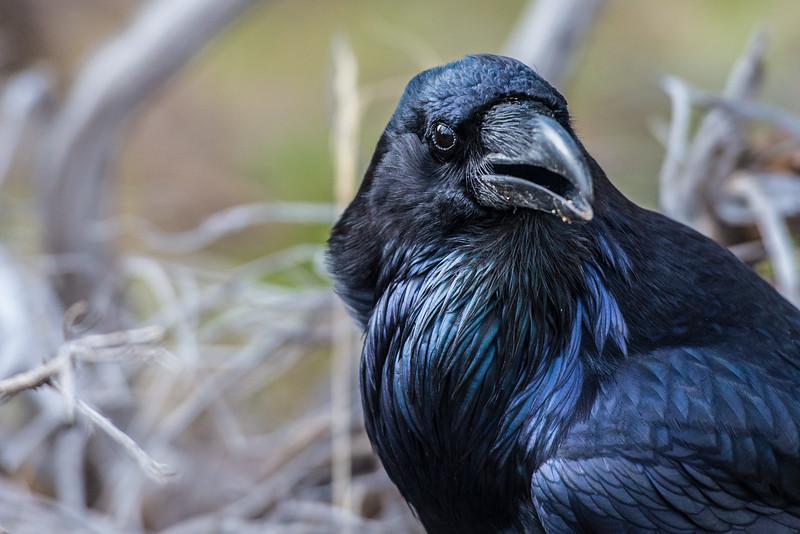 Raven #7