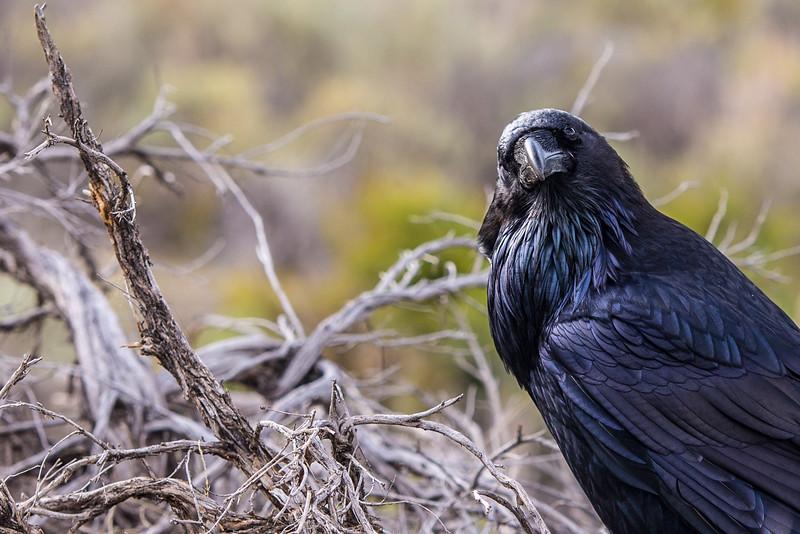 Raven #3