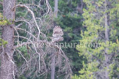 Great Gray Owl near Soda Butte Creek