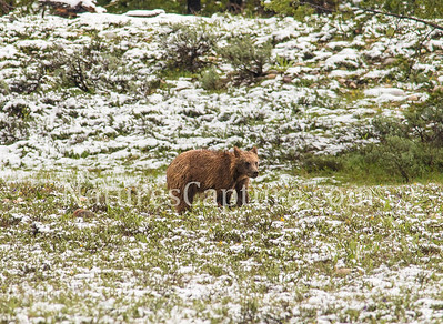 First year grizzly near Pilgrim creek