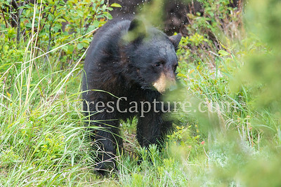 Black bear near Yellowstone River, Tower area