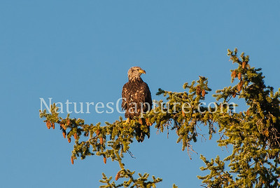 Juvenal Bald Eagle
