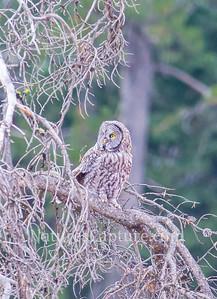 Great Gray Owl, near Soda Butte Creek